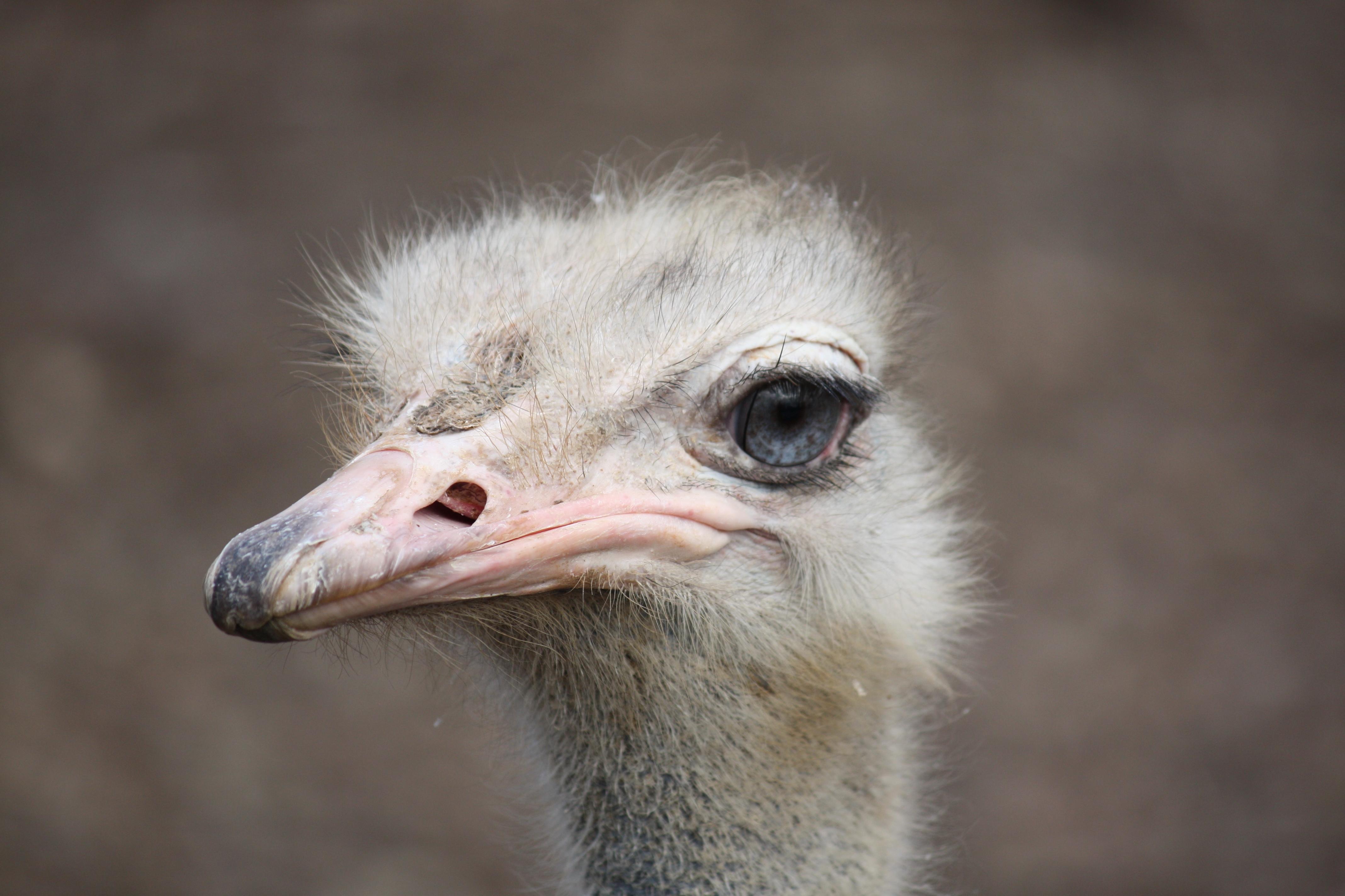 Ostrich2010_2